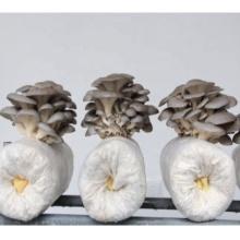 вешенка выращивание компоста выращивание грибов