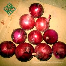 wholesale bulb onion