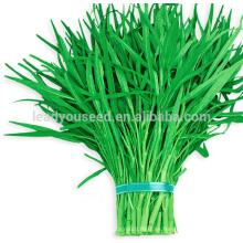 WS03 semillas de espinaca de agua de pedúnculo verde Guanglian para plantar