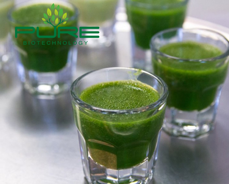 Drinking wheatgrass powder