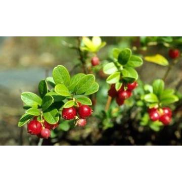 Extracto de Bearberry de la venta caliente / Extracto de la planta de Alpha Arbutin