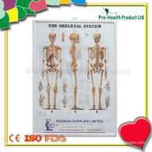 Système d'anatomie plastique du système squelettique humain
