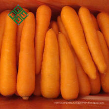 High quality carrots for export fresh carrot in hot sale