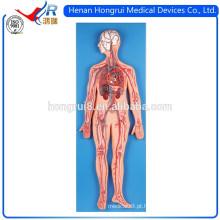 Modelo anatômico Deluxe do Sistema de Circulação de Sangue ISO