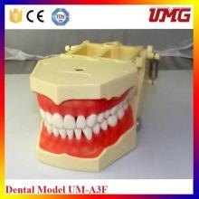 Pequeño modelo del diente de F con 32 dientes
