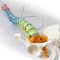 SPINE02 (12373) Medical Science Human Full Size Color Didactic Spine Model, Spine/Vertebrae Models