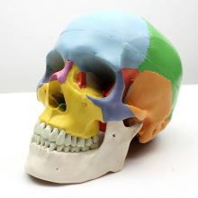 SKULL07 (12333) Modèle médical de crâne de partie de la catégorie 3 avec la mâchoire démontable