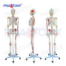 ПНТ-0103N Размер жизни сочтены анатомическая модель скелета с цветным мышц и связок сустава