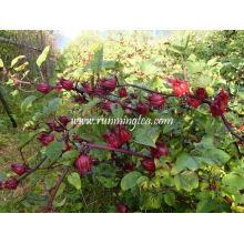 Chá vermelho da flor de Roselle