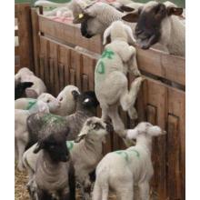 Pulvérisateur de marque animale colorée, marqueur d'élevage