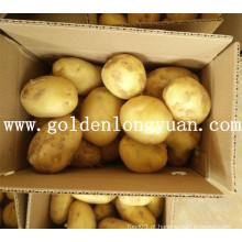 Boa batata fresca da colheita da China