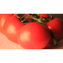 Red vegetable Organic roma grande process hybrid  f1 tomato seeds   israel