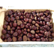 2015 New Crop Boa qualidade Professinal Chestnut
