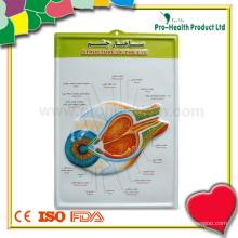 Medical Anatomical Anatomical Chart