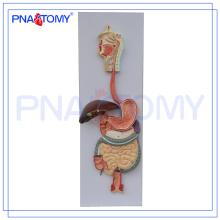 PNT-0450 pvc menschlichen anatomischen Verdauungssystem Modell (3 Teile) für den medizinischen Unterricht