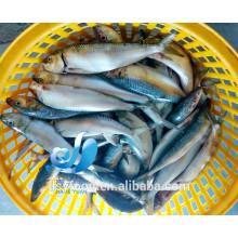 Poisson de sardine congelé