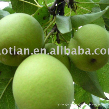 Longkou produjo Shandong Pears
