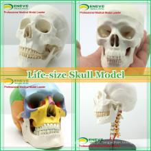 Modelo de crânio humano anatômico plástico para educação médica