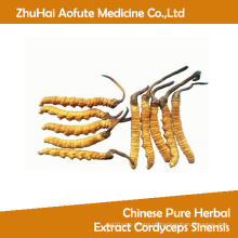 Extrato de ervas puras chinês Cordyceps Sinensis