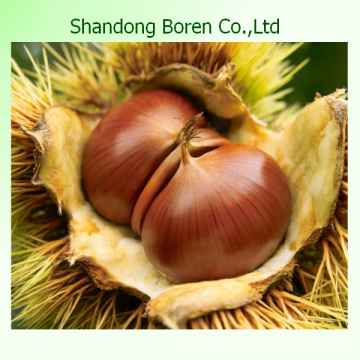 Offering Chinese Good Quality Chestnut