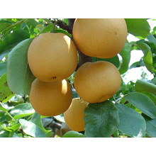 High Quality Delicious Sweet Fengshui Pear