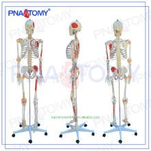 Лучшие продажи Пластиковые человечество скелет анатомические