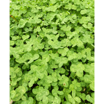 Touchhealthy Supply Trifolium repens L seeds