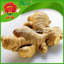 Gengibre fresco chino maduro especificación de jengibre maduro