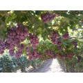 Size Chinese red globe grapes Fresh Style fresh grapes for sale