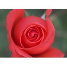 Высушенный бутон розы, цветочный травяной чай, чай с розовым цветком, экстрактом розы