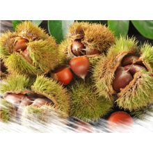 Sweet Chestnut Good Quality From China Wholesale