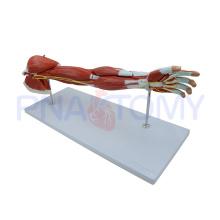 Anatomia PNT-0331 dos músculos do braço humano