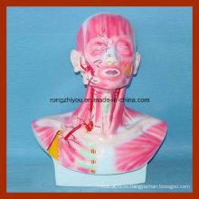 Модель головы, лица и шеи с моделью распределения мускулатуры и кровеносных сосудов