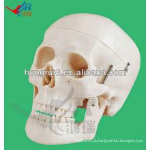 Tamanho da Vida Modelo humano para cabeça de esqueleto educacional