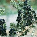 Medlar 100% Black Organic Goji Berries