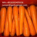 Class A Good Shape Fresh Carrots