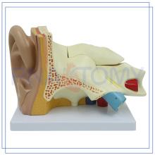 PNT-0671 Enlarged 5 parts Human Ear model