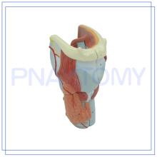 PNT-0440 Anatomia Humana Modelo da Garganta Modelo da Laringe