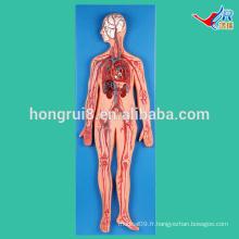 ISO Vivid système vasculaire modèle d'enseignement médical