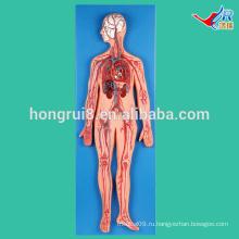 Модель ИСО Vivid Vascular System для медицинского обучения