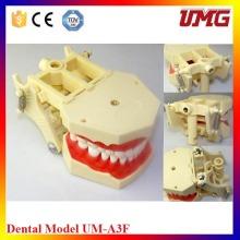 Modelos Dentales Estándar Dientes Dentales Modelos Dentista Modelo Anatómico