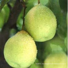 Frische köstliche chinesische grüne Ya Birne Heißer Verkauf