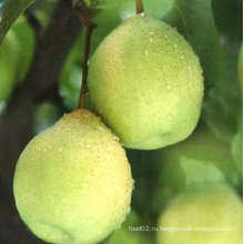 Свежий вкусный китайский зеленый Я. Груша Hot Sale
