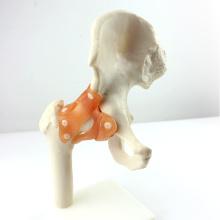 JOINT06 (12353) Medical Anatomy Natural Size Modelos de articulação do quadril