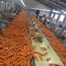 Zanahorias frescas orgánicas Zanahorias frescas dulces
