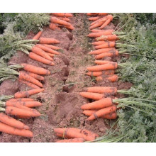 Fresh Carrots /Natural Fresh Carrots From China