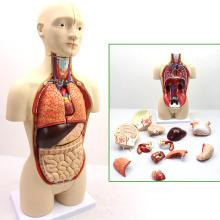 TORSO03 (12014) медицинская Анатомия 45cm высокого бисексуалов торс человека анатомические модели образования