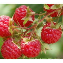 IQF Freezing Organic Raspberry Hr-16090904