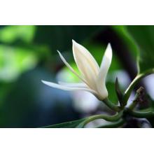 Michelia Leaf Huile Essentielle 10ml