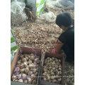 2016 Fresh Purple&Red Garlic